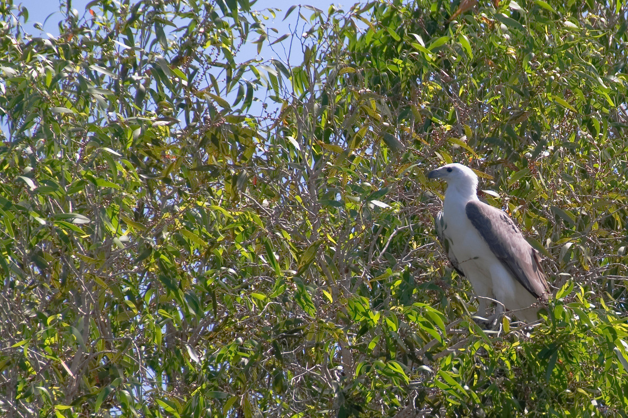 Sea Eagle in Tree, Alligator River, Kakadu National Park - Northern Territory, Australia
