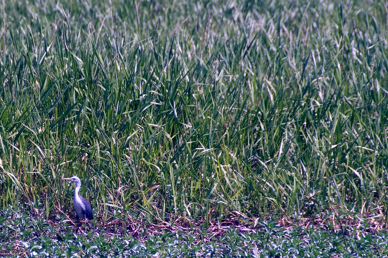 Bird in Grass, Alligator River, Kakadu National Park - Northern Territory, Australia