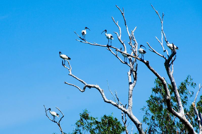 Birds in Tree, Kakadu National Park - Northern Territory, Australia