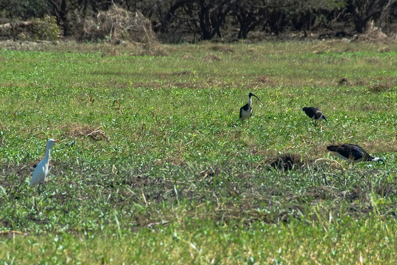 Birds in Field, Alligator River, Kakadu National Park - Northern Territory, Australia