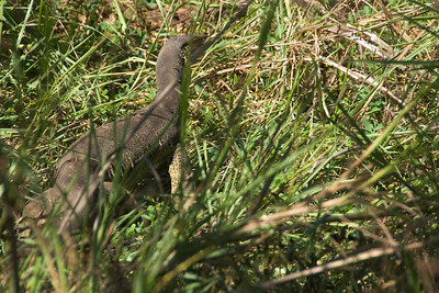 Monitor Lizard, Kakadu National Park - Northern Territory, Australia