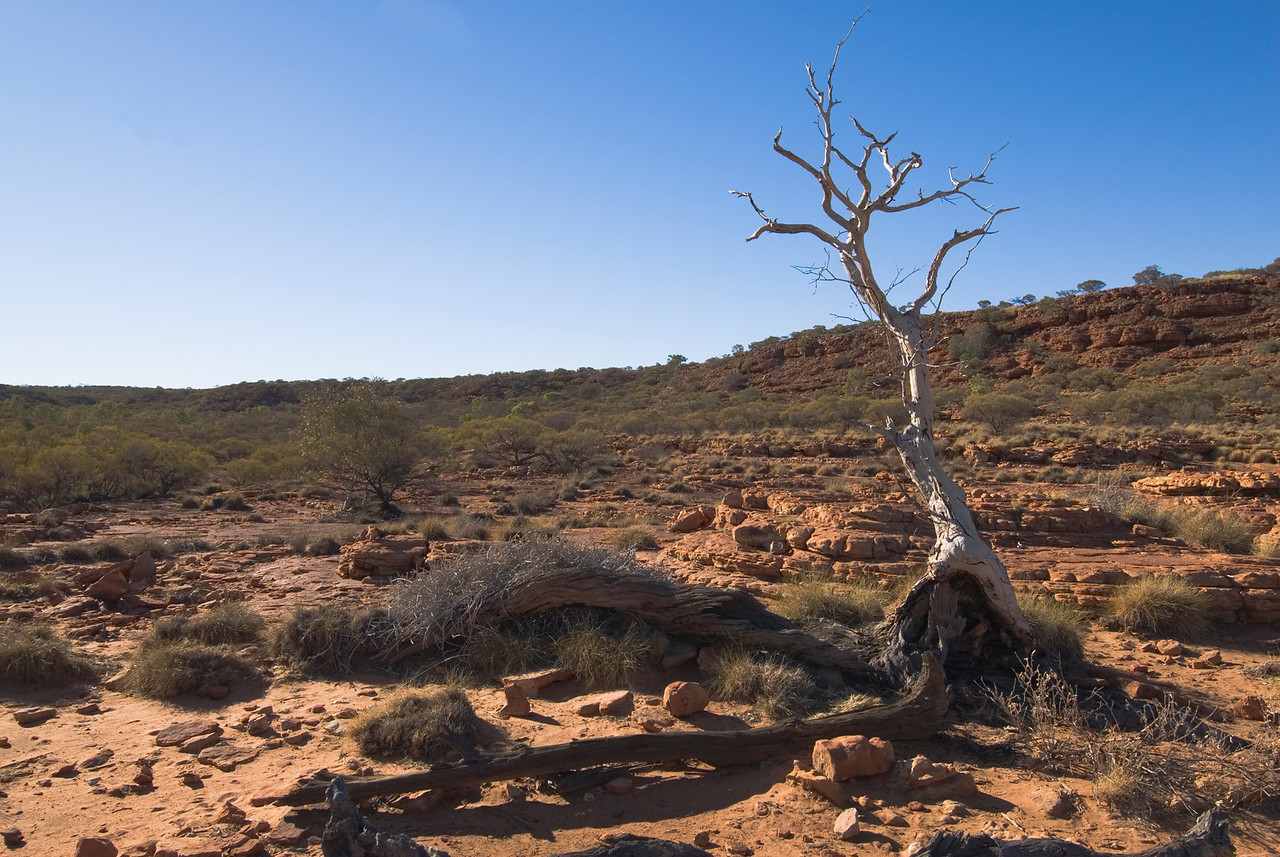 Dead Tree 1, Kings Canyon - Northern Territory, Australia
