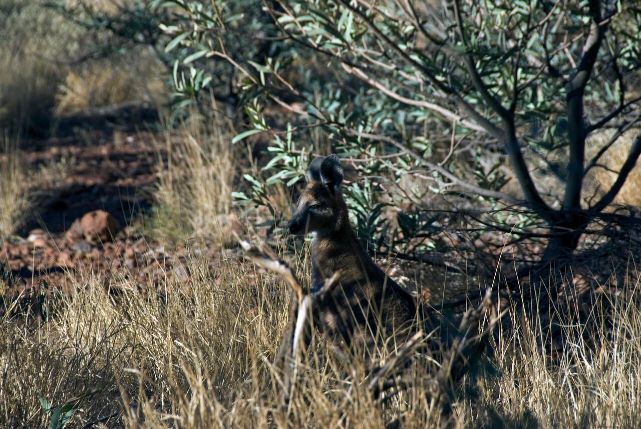 Kangaroo in Kata Tjuta - Northern Territory, Australia