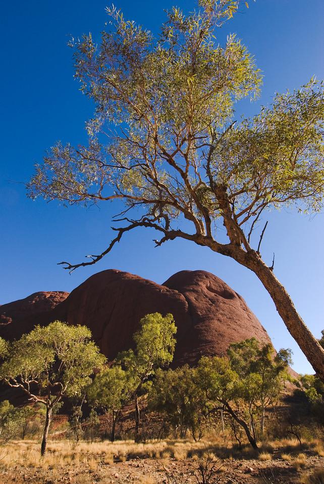 Tree Branch and Kata Tjuta - Northern Territory, Australia