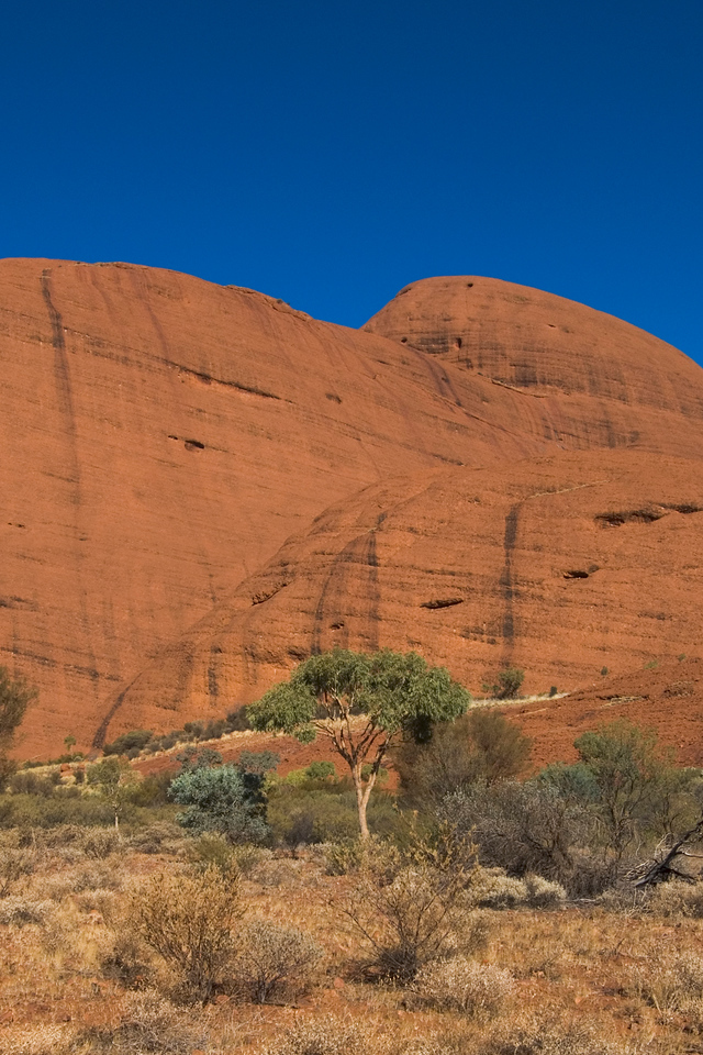 Lone Tree at Kata Tjuta - Northern Territory, Australia