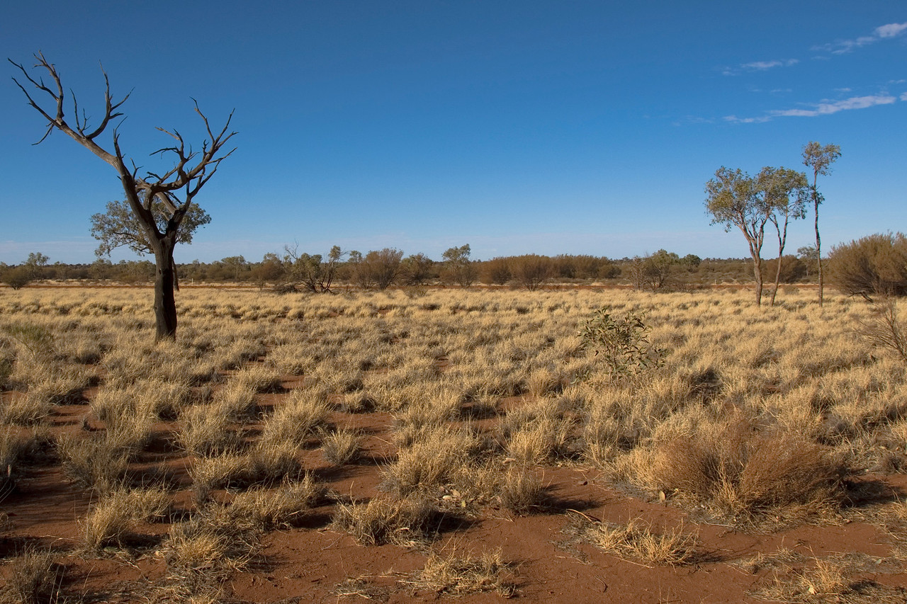 Tree and grass near Uluru - Northern Territory, Australia