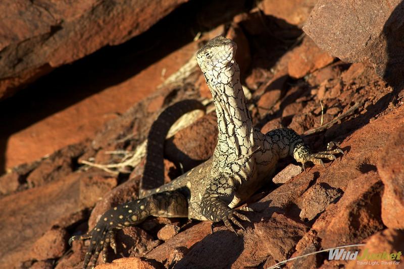 Perentie in Uluru