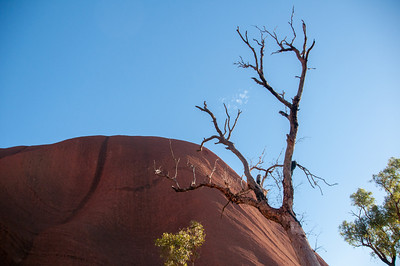 Dead tree in Uluru National Park, Australia
