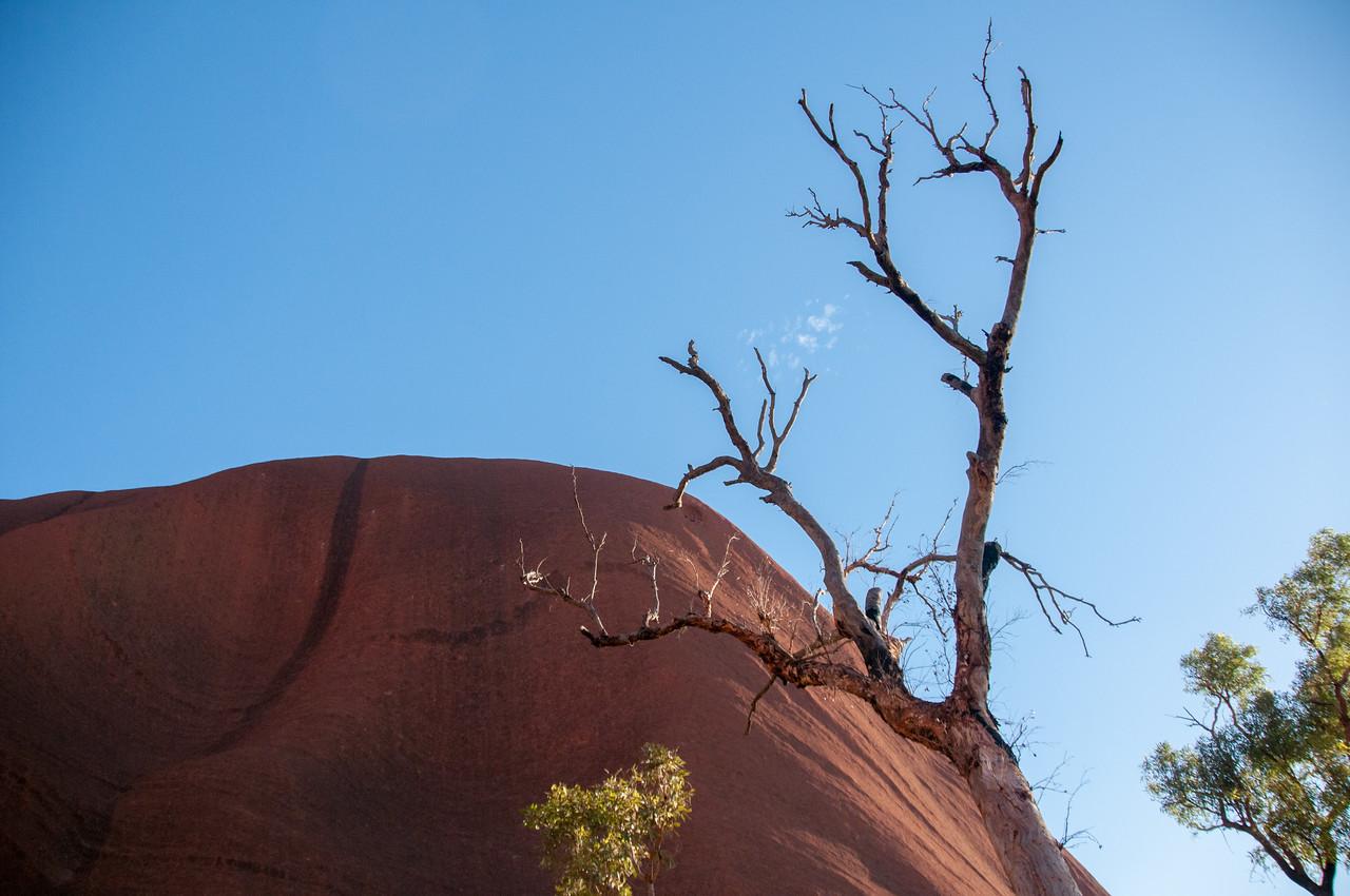 Dead tree in Uluru National Park, Australia