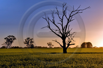 AUOU01 Dead Tree in Canola Field at Sunrise