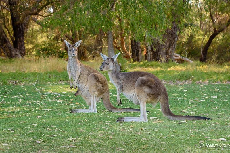 Kangaroos with a Joey