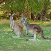 Kangaroos with a Joey