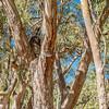 Koala Curled Up Sleeping
