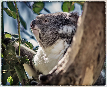 Koalas being conserved at the Philip island conservation center
