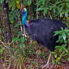A Cassowary in the carpark at Cape Tribulation.