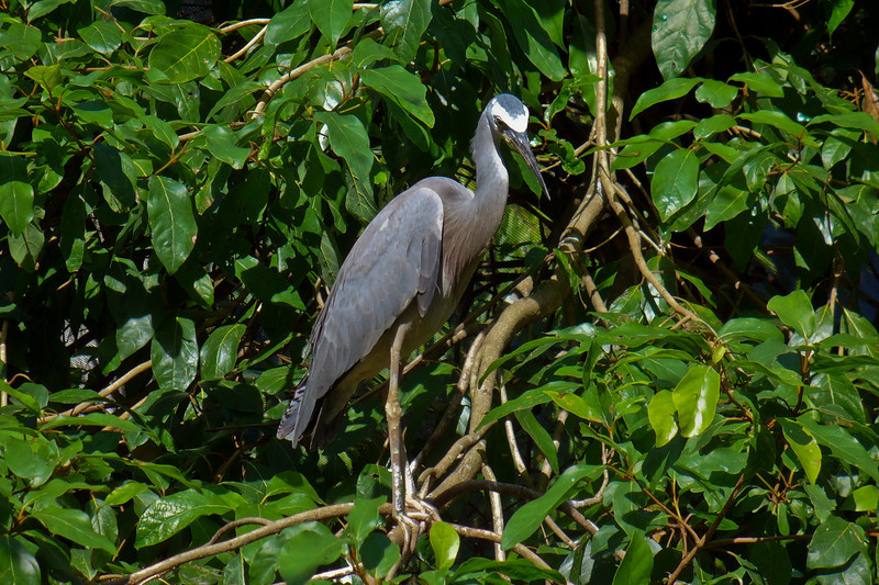 A heron at the Rainforest Centre in Port Douglas