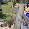 A large crocodile at the wildlife park we visited near Daintree.