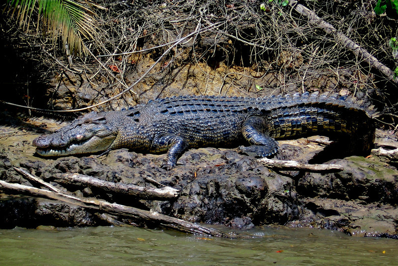 """""""Scarface"""", an 5m saltwater crocodile on the Daintree River."""