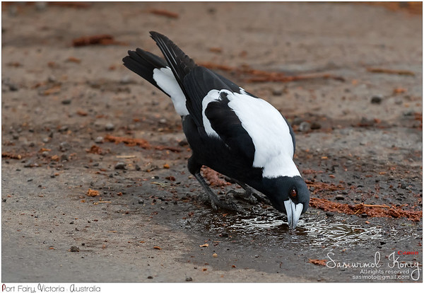 Australian Magpie bird also got thirsty