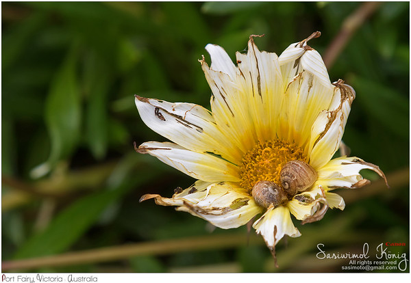 Romantic moment of snails resting inside Coastal Gazania rigens