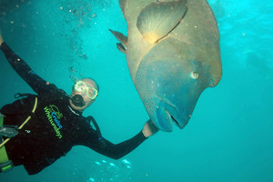 Me and a Giant Wrasse on the Great Barrier Reef