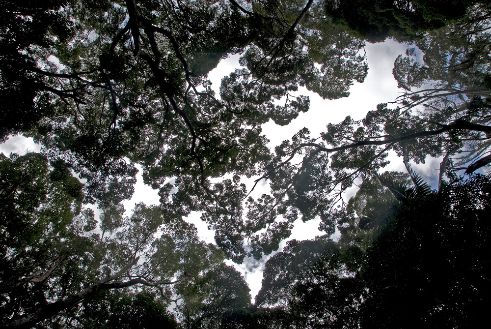 Forest canopy, Fraser Island, Queensland, Australia