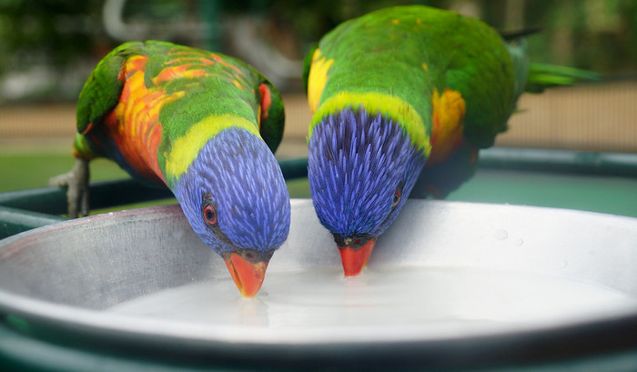 Feeding the Rainbow Lorikeets a bit of milk and honey