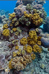 Leather Coral 1, Great Barrire Reef - Cairns, Queensland, Australia