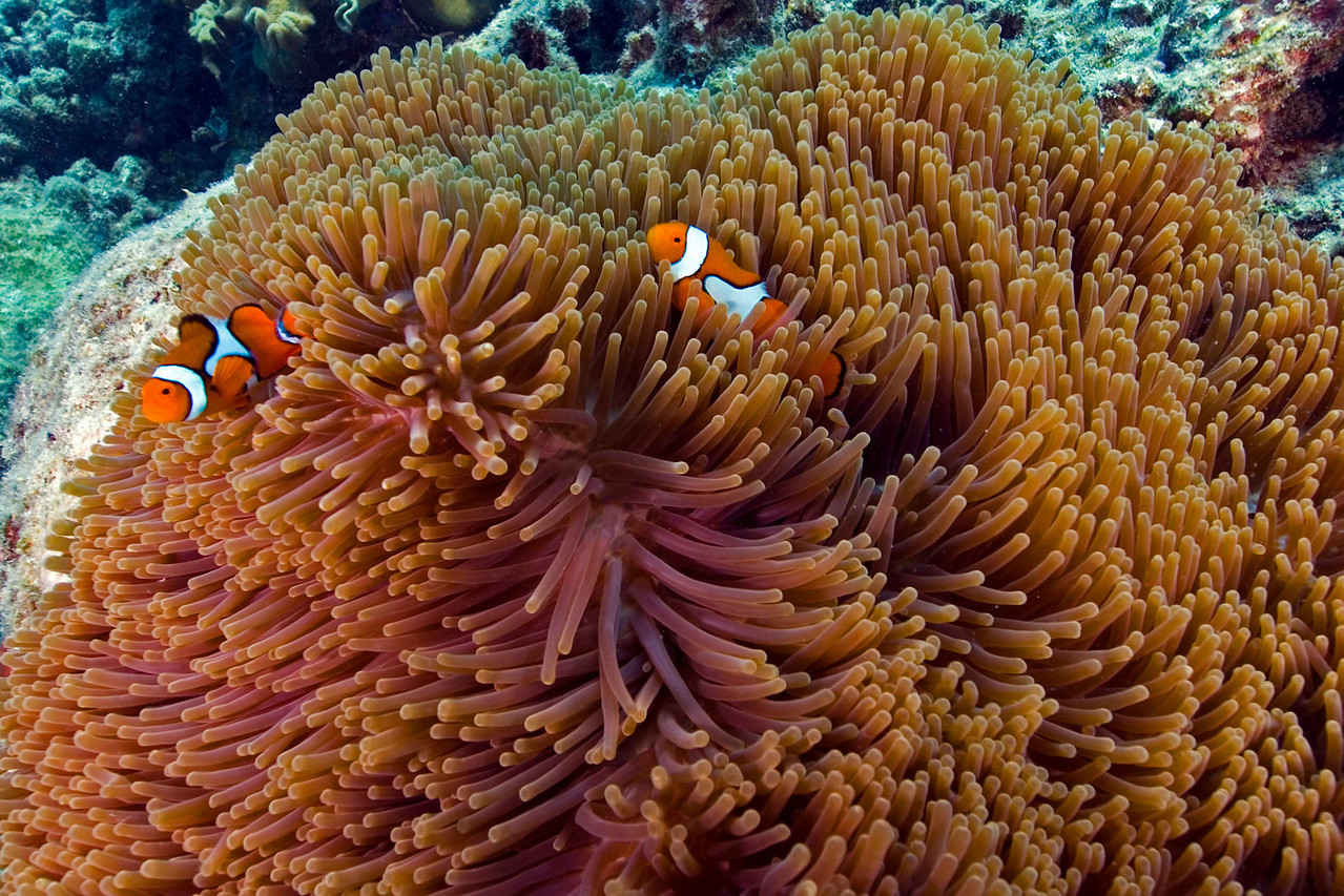 Clownfish and Anenome 1, Great Barrire Reef - Cairns, Queensland, Australia