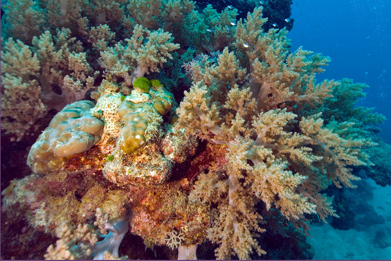 Leather Coral 2, Great Barrire Reef - Cairns, Queensland, Australia