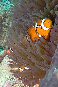 Clownfish and Anenome 6, Great Barrire Reef - Cairns, Queensland, Australia