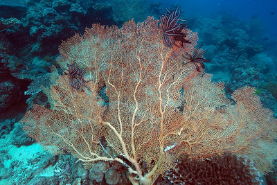 Fan 1, Great Barrire Reef - Cairns, Queensland, Australia