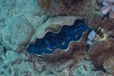 Giant Clam 3, Great Barrire Reef - Cairns, Queensland, Australia