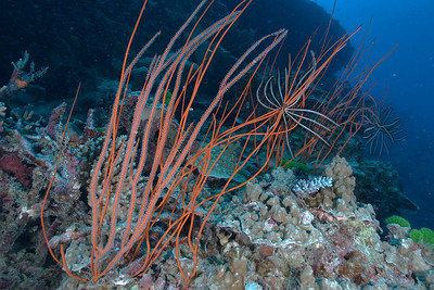 Gorgonians 1, Great Barrire Reef - Cairns, Queensland, Australia