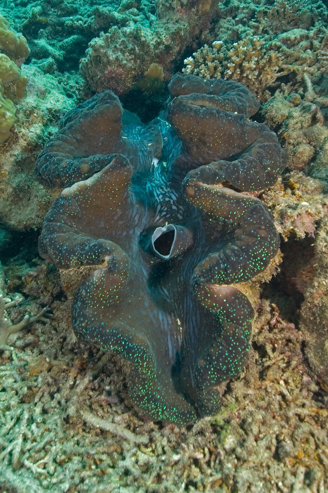 Giant Clam 1, Great Barrire Reef - Cairns, Queensland, Australia