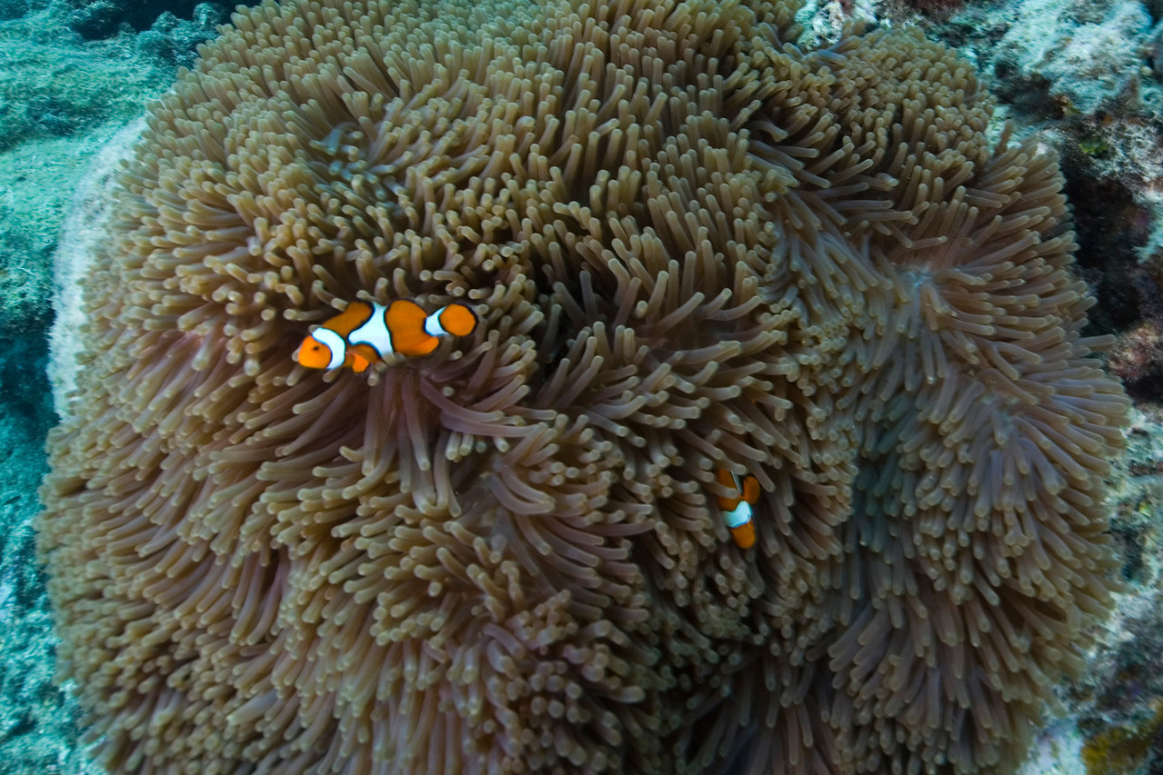 Clownfish and Anenome 2, Great Barrire Reef - Cairns, Queensland, Australia