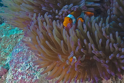 Clownfish and Anenome 7, Great Barrire Reef - Cairns, Queensland, Australia