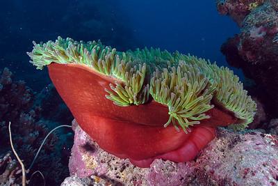 Anenome 2, Great Barrire Reef - Cairns, Queensland, Australia