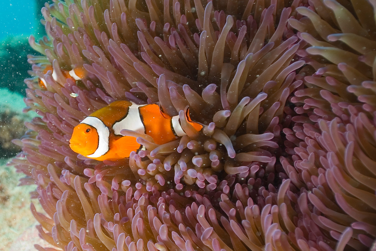 Clownfish and Anenome 9, Great Barrire Reef - Cairns, Queensland, Australia