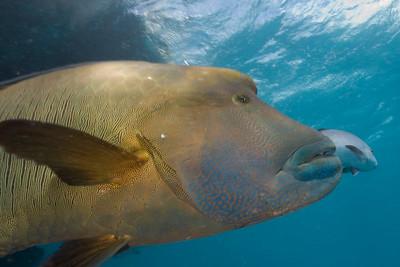 Big Wrasse 1, Great Barrire Reef - Cairns, Queensland, Australia