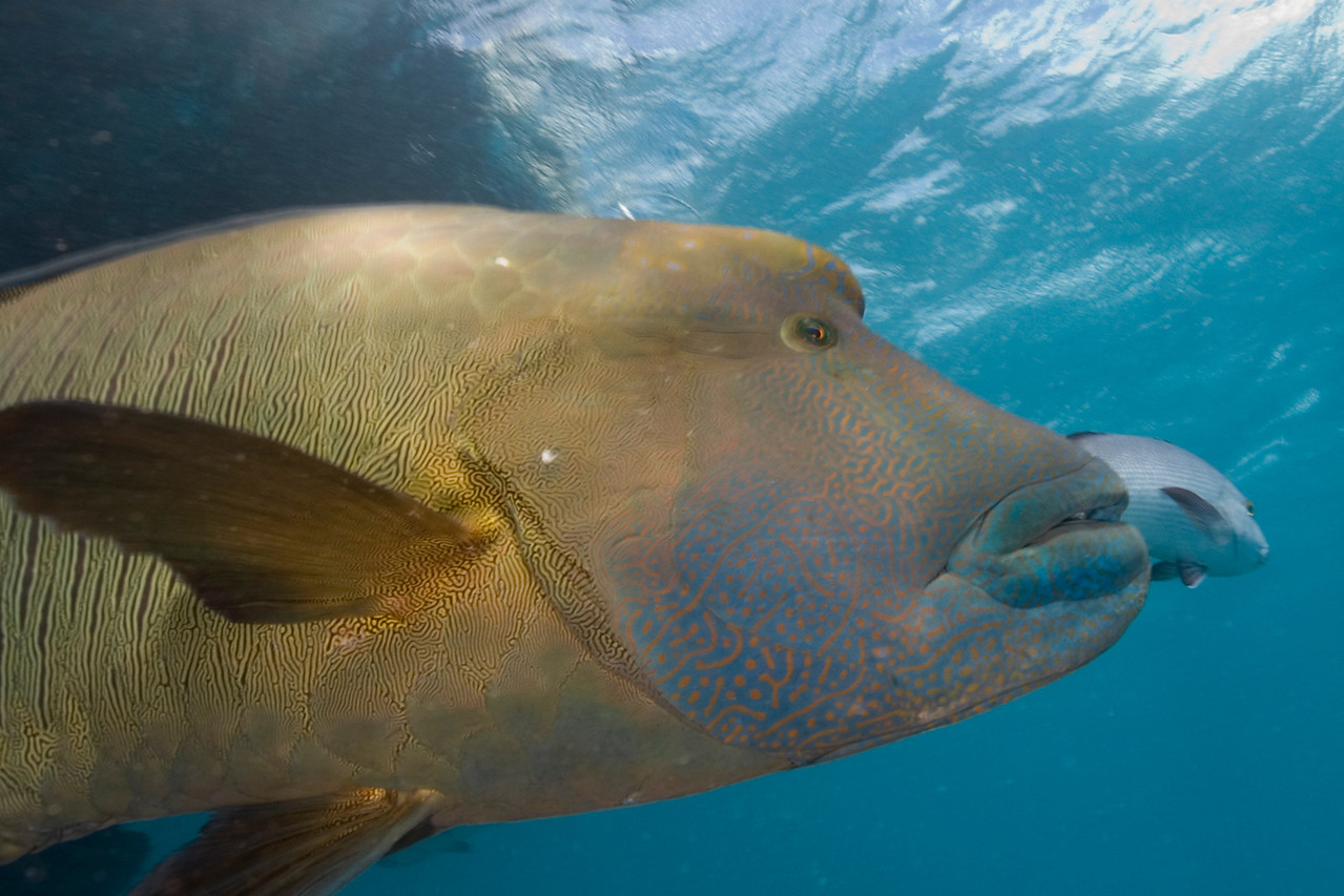 Big Wrasse 1, Great Barrire Reef - Cairns, Queensland, Australia