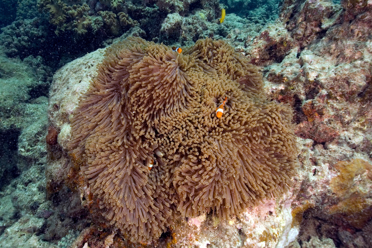 Clownfish and Anenome 4, Great Barrire Reef - Cairns, Queensland, Australia