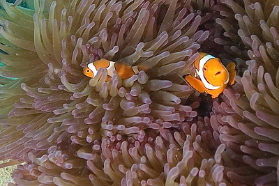 Clownfish and Anenome - Great Barrire Reef, Australia