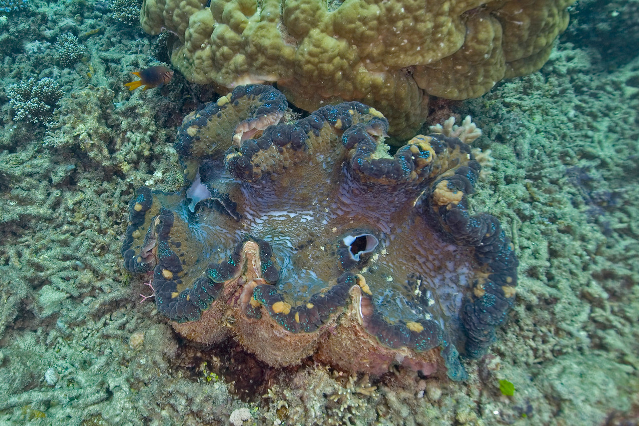 Giant Clam 2, Great Barrire Reef - Cairns, Queensland, Australia