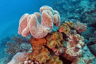 Leather Coral 7, Great Barrire Reef - Cairns, Queensland, Australia