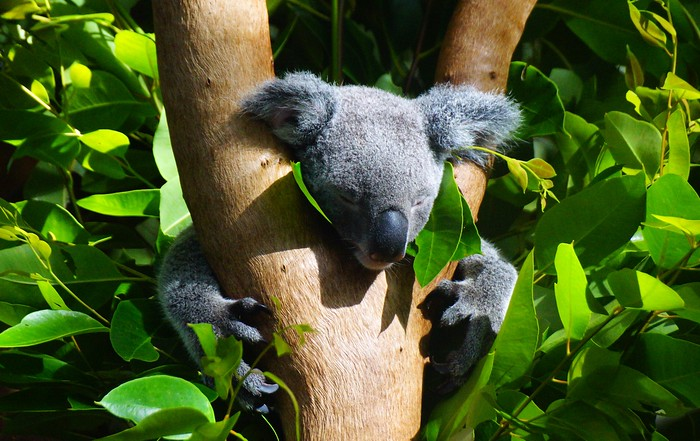 A koala napping in a tree in Australia.