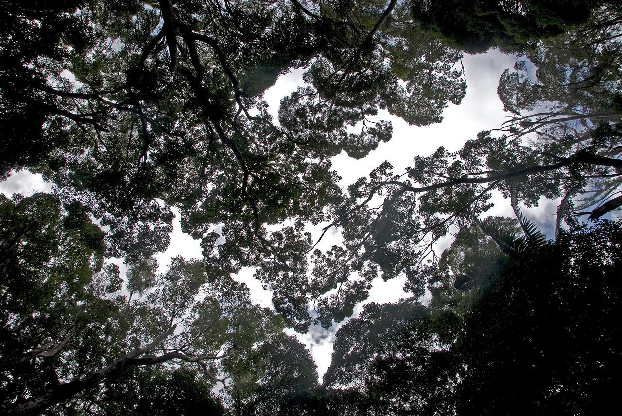 Treetops, Fraser Island - Queensland, Australia