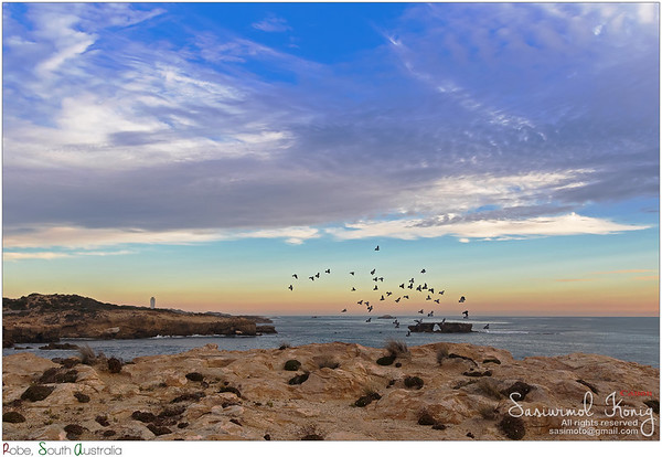 Rock dove flying around at Cape Dombey in Robe, South Australia.