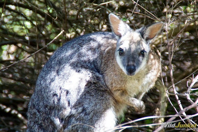 A beautiful wallaby in the bush