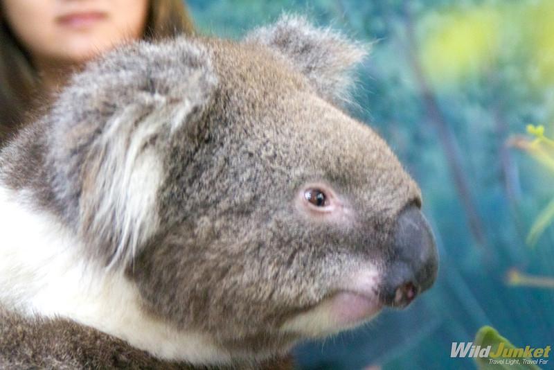 My koala bear
